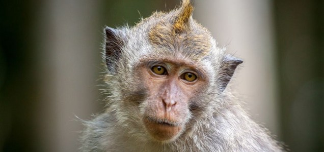 US faces monkey shortage for COVID-19 research