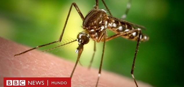 Por qué Florida liberará 750 millones de mosquitos modificados genéticamente