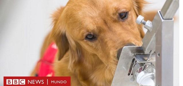 El mecanismo por el que los perros pueden detectar el coronavirus hasta 5 días antes de que empiecen los síntomas