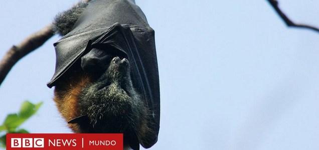 """Cómo descubrir los secretos de la """"extraordinaria inmunidad"""" de los murciélagos puede ayudarnos contra el coronavirus"""