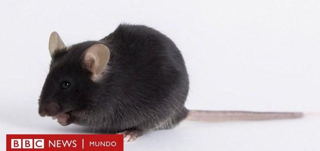 Cómo unos ratones modificados genéticamente y utilizados para estudiar el coronavirus se volvieron objeto de una disputa mundial