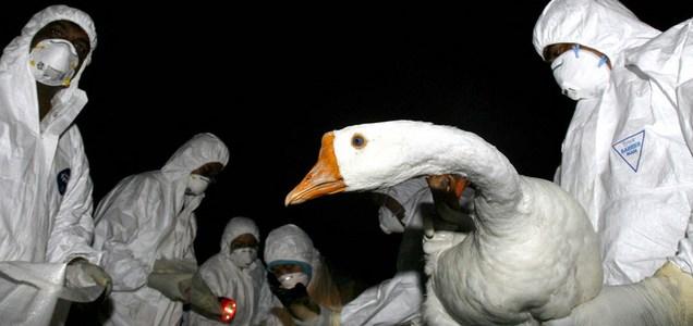 C'è un primo caso di trasmissione a uomo di influenza aviaria H5N8