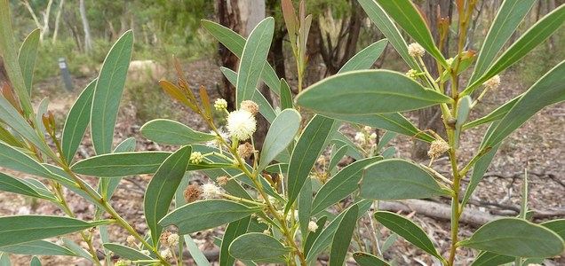 Cyanogenic poison protects from herbivores : Saman Tree