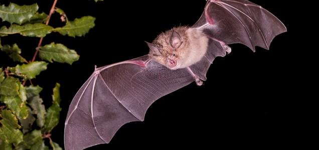 L'evoluzione dei coronavirus nei pipistrelli