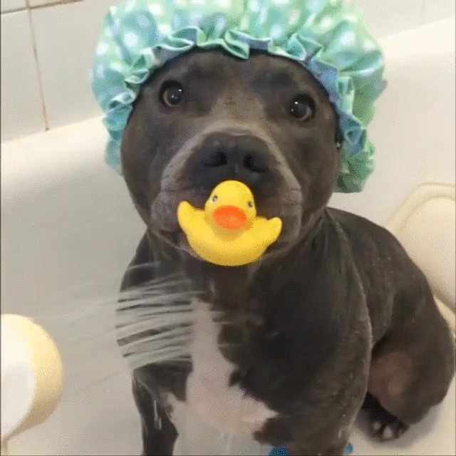 Vicious pitbull attacks baby duck during rain shower      Dogs